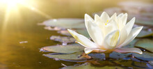 White Water Lily In Pond Under Sunlight. Blossom Time Of Lotus Flower