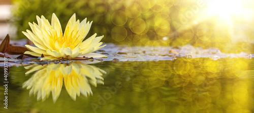 Cuadros en Lienzo yellow water lily in pond under sunlight