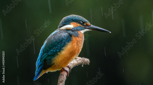 Tableau sur Toile common kingfisher perched on branch