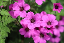 Geranium Psilostemon, Commonly Called Armenian Cranesbill, Is A Species Of Hardy Flowering Herbaceous Perennial Plant In The Genus Geranium, Geraniaceae Family.
