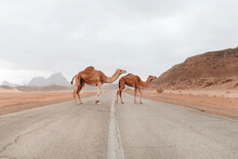 Wild Fluffy Camels Standing On Dry Sandy Ground In Sandstone Valley In Wadi Rum And Looking At Camera
