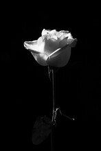 Black And White Of Gentle Blossoming Rose Flower On Dark Background In Studio