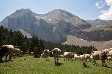 Herd Of Domestic Cows Pasturing In Lush Grassy Mountainous Valley On Sunny Day In Summer