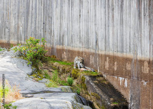Beautiful view of gorgeous snow leopard isolated laying in aviary of Swedish zoo Fototapete