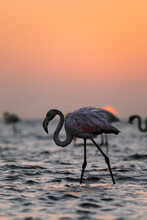 Side View Of Flamingo With Pink Plumage Standing In Water Of Lake Against Sundown Sky In Savanna