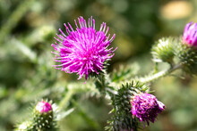 Spiny Plumeless Thistle Also Welted Thistle (in German Weg-Distel) Carduus Acanthoides