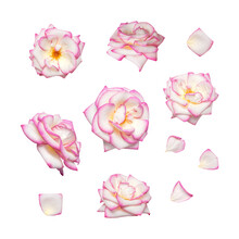 White Roses With Pink Edge Isolated On White Background. Delicate Beautiful Garden Flowers Roses And Petals. Collection Of Open Buds Of Pink Roses. Spring Blossom Concept, Nature Layout