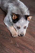 Small Puppy Of Australian Cattle Dog Breed Lying Down On The Floor