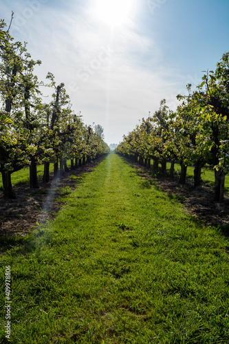 Photo Rows with plum or pear trees with white blossom in springtime in farm orchards,