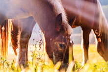 Side View Of Horses Eating Grass And Grazing In Lush Grassland In Highland Area At Sunrise
