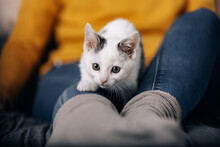 Adorable White With Gray Spots Little Kitty Sitting On Knee Of Female Owner And Meowing