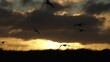 Seagull flock silhouettes gliding over sunrise slow motion