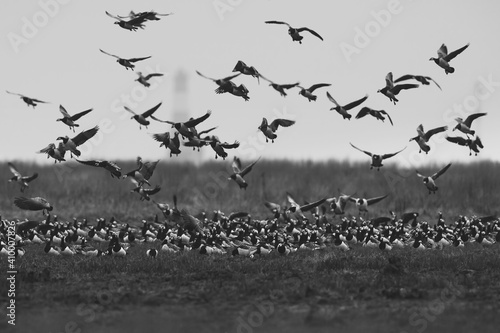 Stampa su Tela Grayscale shot of a beautiful flock of flying birds over the field