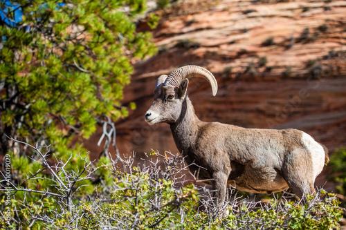 Duże rogate owce w krajobrazie lasów i gór Parku Narodowego Zion.