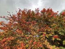 Rust Coloured Leaves, And Red Berries, On A Large Tree In Autumn, Set Against A Cloudy Sky In, Bradford, Yorkshire, UK