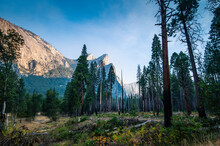 Pine Trees At Yosemite Valley Surrounded By High Cliffs