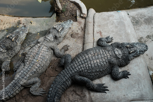 Foto crocodile in the Zoo