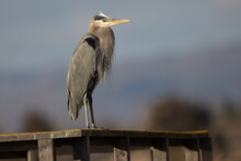 Great Blue Heron, Seen In The Wild In North California