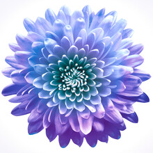 Flower  Chrysanthemum On A White  Isolated Background With Clipping Path. Closeup. For Design. Nature.