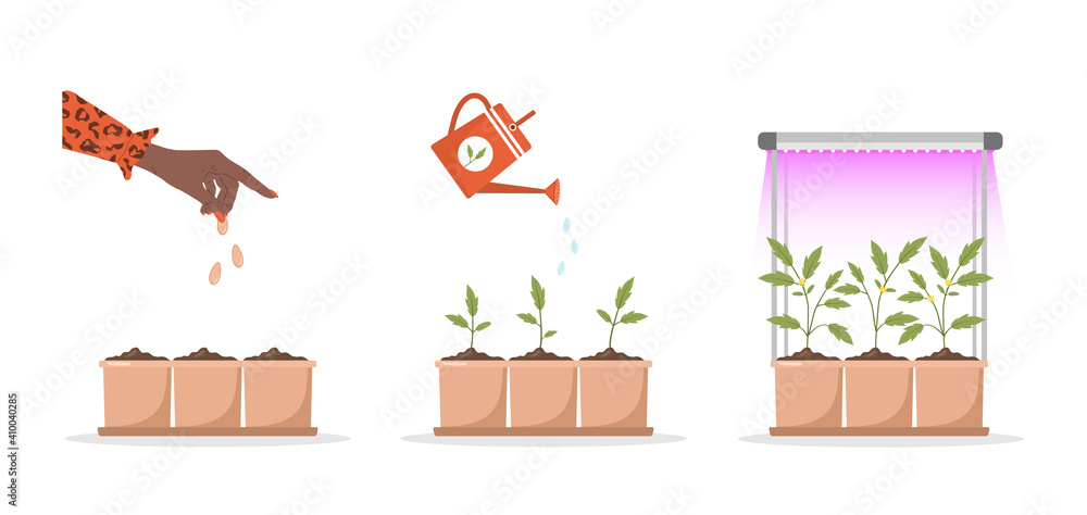 Fototapeta Phases seedling growing in pot under phyto lamp. Stages of plant growth from sprout to vegetable. Vector illustration in flat cartoon style. Domestic plants nursery and care concept.