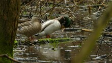 Male And Female Duck Standing And Looking Around On A Branch Covered With Moss And Walking Away Between The Raindrops On A Rainy Day In Ontario. Medium Shot