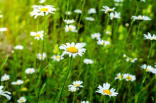 Chamomile Field.  Lawn With Green Grass And White Wildflowers On  Sunny Summer Day.