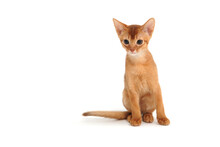 Abyssinian Ginger Cat On A White Background