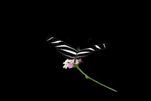 Zebra Heliconide Butterfly On A Plant Isolated On Black Background
