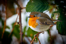 Side View Of An European Robin Redbreast With Puffed Up Feathers, That Sits On A Twig And Looking Into The Camera At Winter.