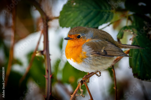 Fototapeta side view of an european robin redbreast with puffed up feathers, that sits on a twig and looking into the camera at winter