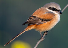 Shrikes Are Carnivorous Passerine Birds Of The Family Laniidae. The Family Is Composed Of 33 Species In Four Genera. Long Tailed Shrike ,