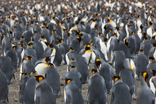 South Georgia Colony Of King Penguins On A Sunny Winter Day