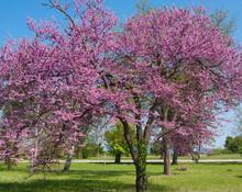 Cercis Tree In Blossom Cercis Sililuastrum