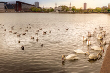 Mesmerizing Shot Of Graceful Swans Swimming In The Water In The Background Of Beautiful Buildings