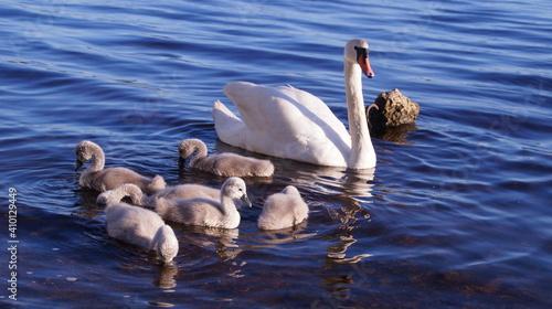 Fotografie, Obraz swan family