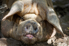 Laos. Vietnamese Pig Taking A Nap In The Mud.