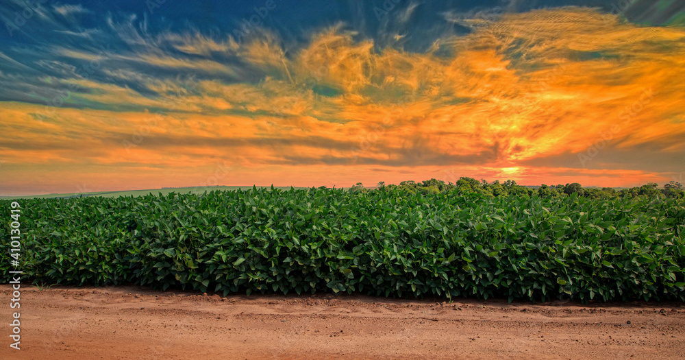 Fototapeta Agricultural soy plantation on sunset - Green growing soybeans plant against sunlight