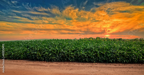 Fototapeta Agricultural soy plantation on sunset - Green growing soybeans plant against sunlight obraz