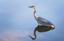 A Great Blue Heron Remains Motionless While On The Prowl In A Pennsylvania Stream