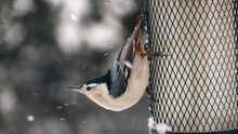 White Breasted Nuthatch In Winter
