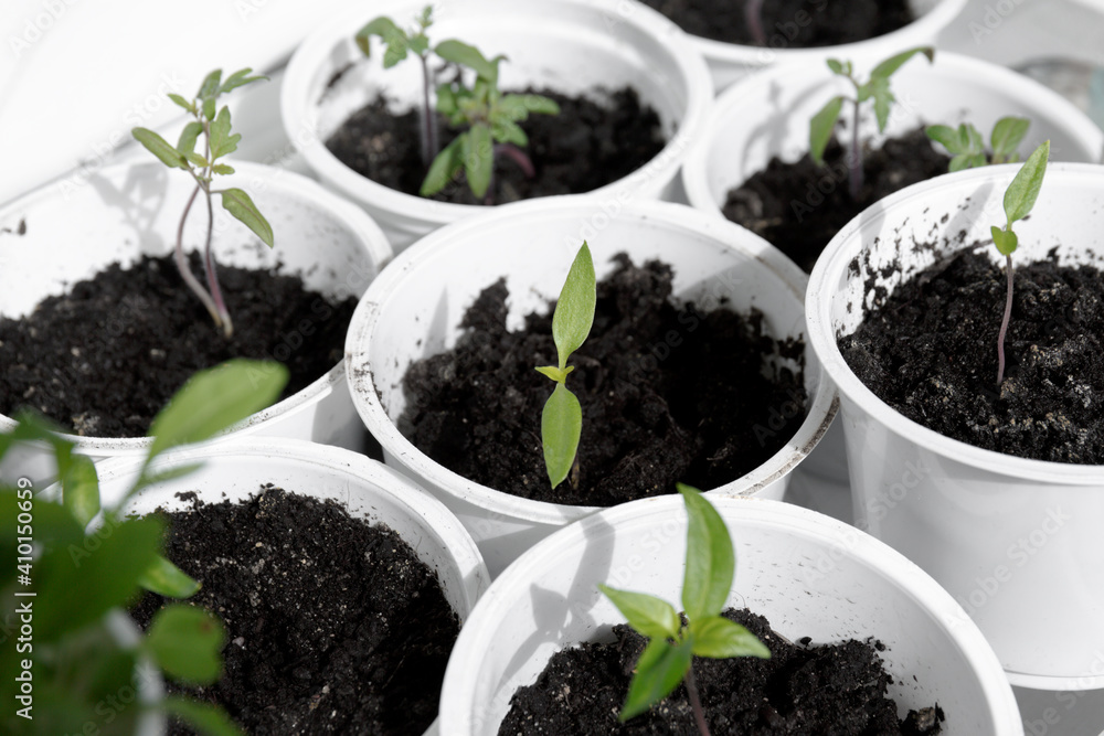 Fototapeta Seedlings on the windowsill. Young green seedlings in white containers. Spring planting organic microgreen.