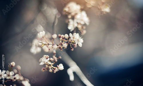Slika na platnu White flowers of cherry.