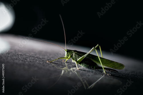 Canvas Print Selective focus shot of a green giant grasshopper on the reflective surface