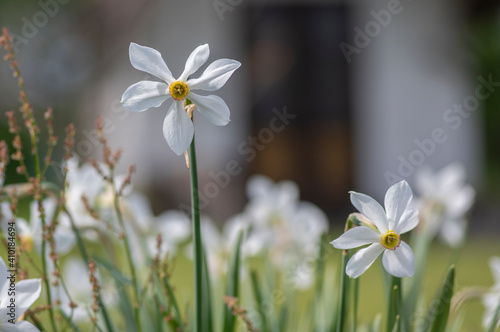 Obraz na plátně Narcissus poeticus poets daffodil flowering wild plant, beutiful white yellow fl