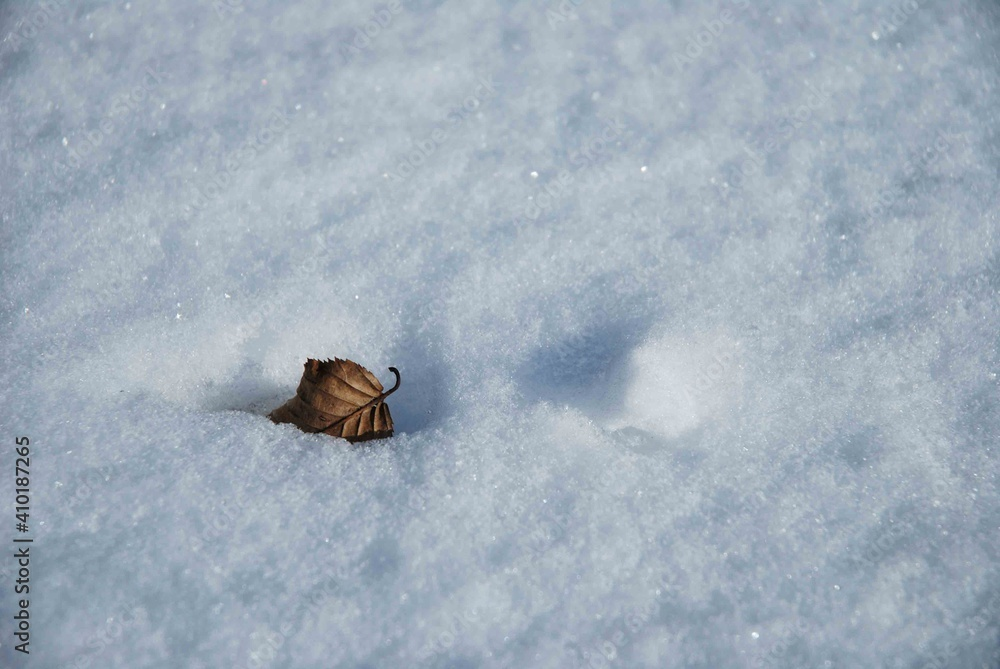 Fototapeta Suchy, stary liść na białym śniegu