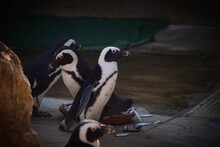 A Humboldt Penguin (Spheniscus Humboldti) In A Czech Zoo.  They Have Fish For Lunch.