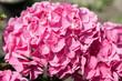 Leinwandbild Motiv Blooming hydrangea flower in the garden