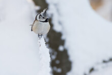 Crested Tit (Parus Christatus) Win Winter On A Branch