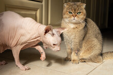 Scottish Fold Cat And Don Smooth Sphynx Cat