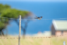 Barn Swallow Sitting On A Wire Fence